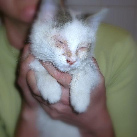 Infekcija herpesom kod mačaka
